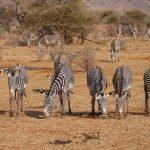 afrique-kenya-zebres-goyav