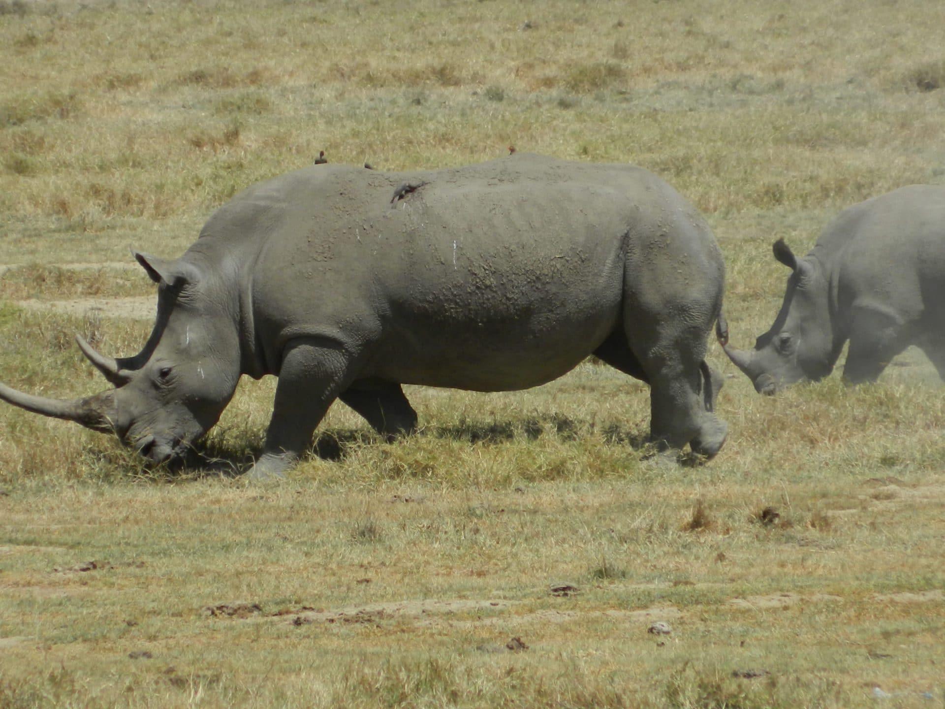 Afrique-kenya-rhino-stf-goyav