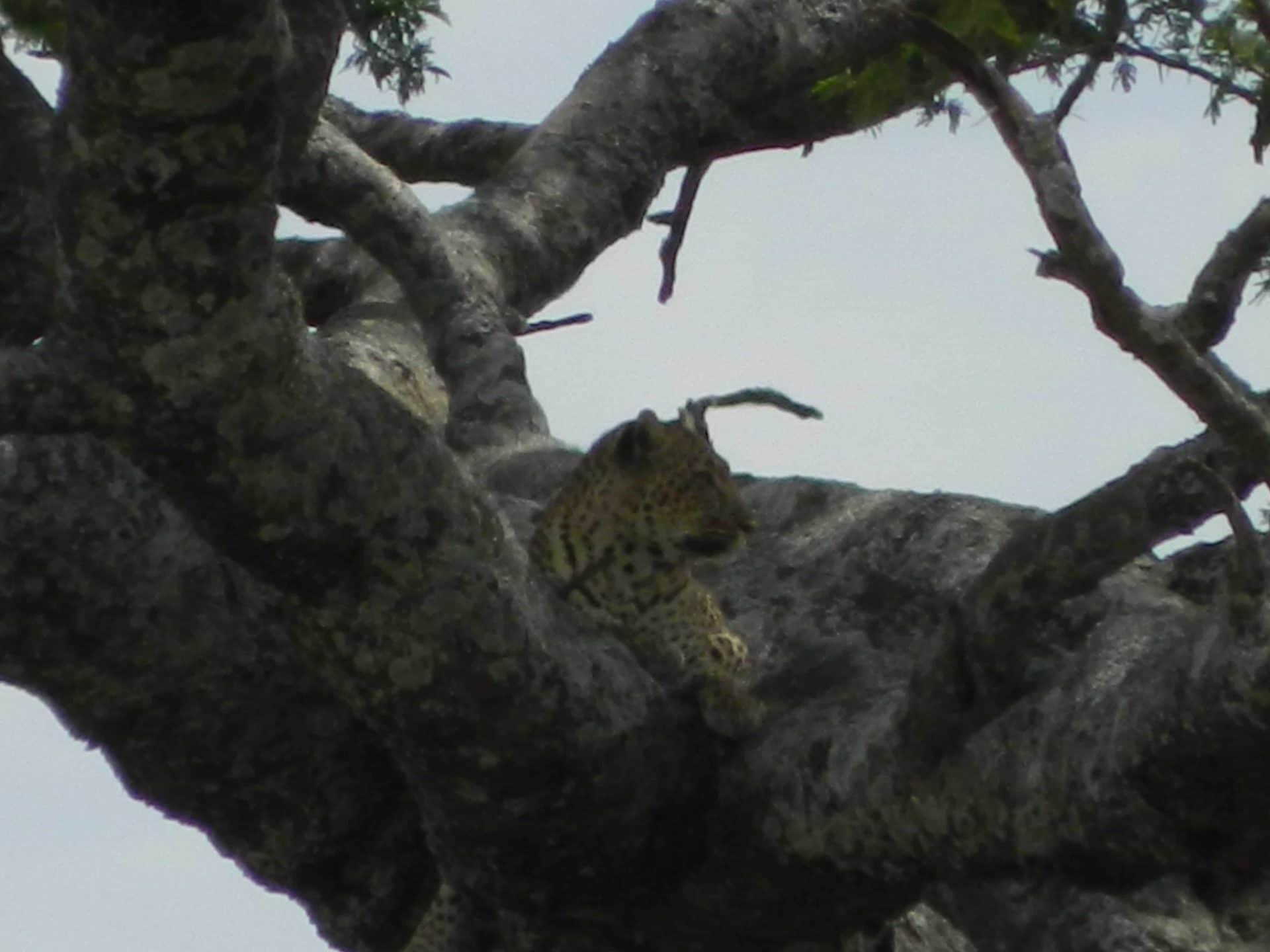 Afrique-kenya-guepard-stf-goyav