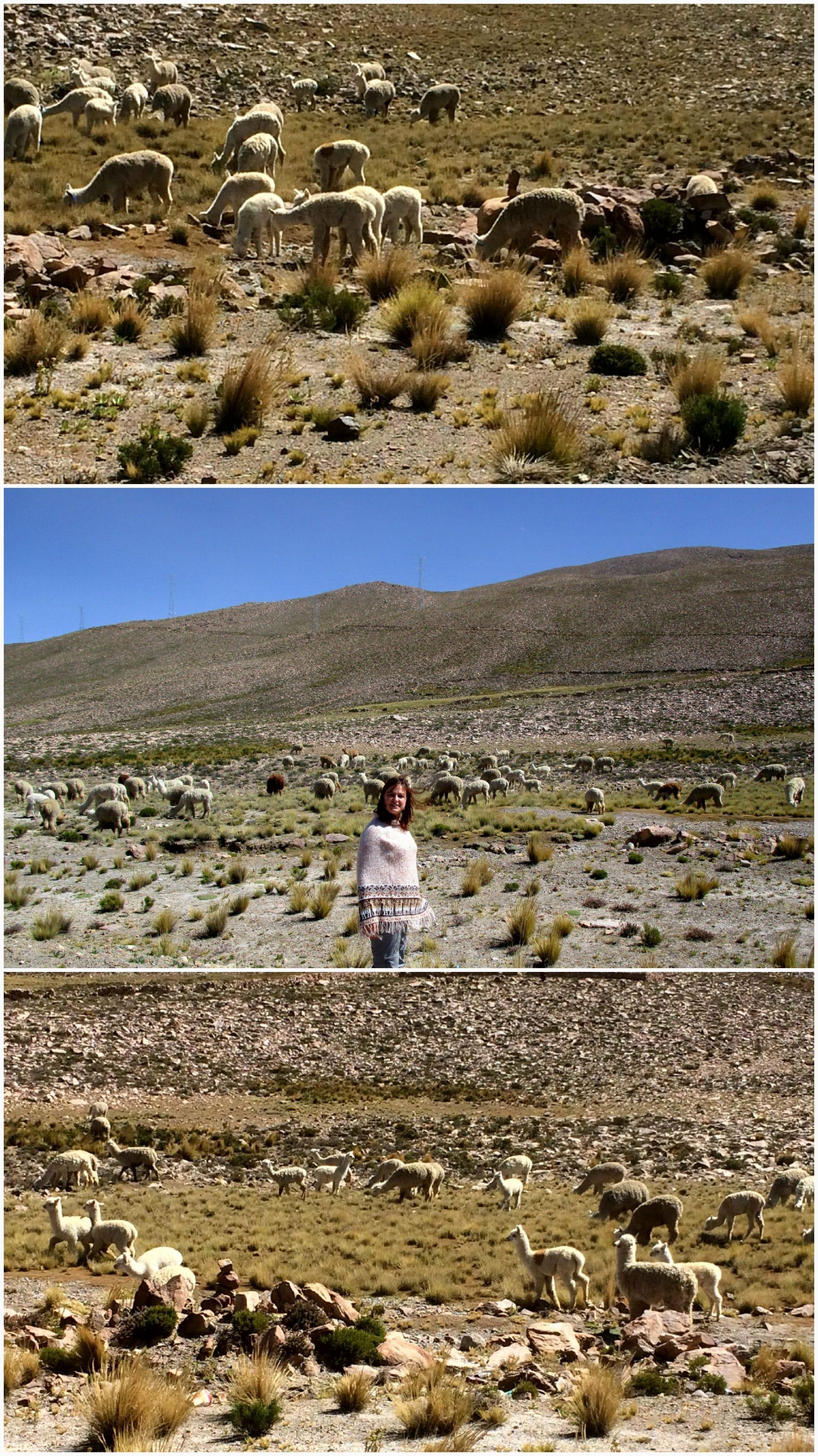 Lamas et alpagas au pérou