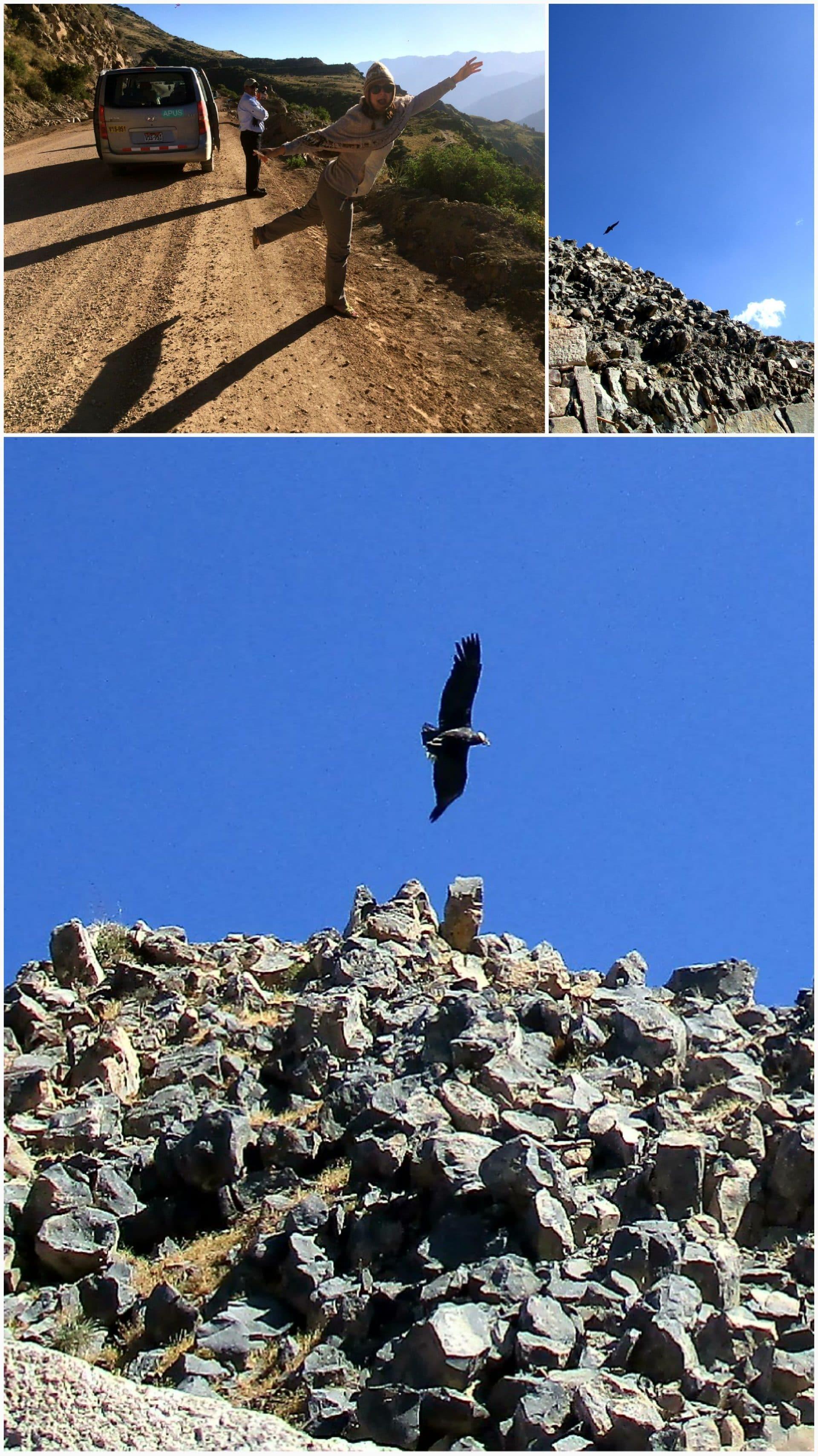 Condor au pérou canyon de colca