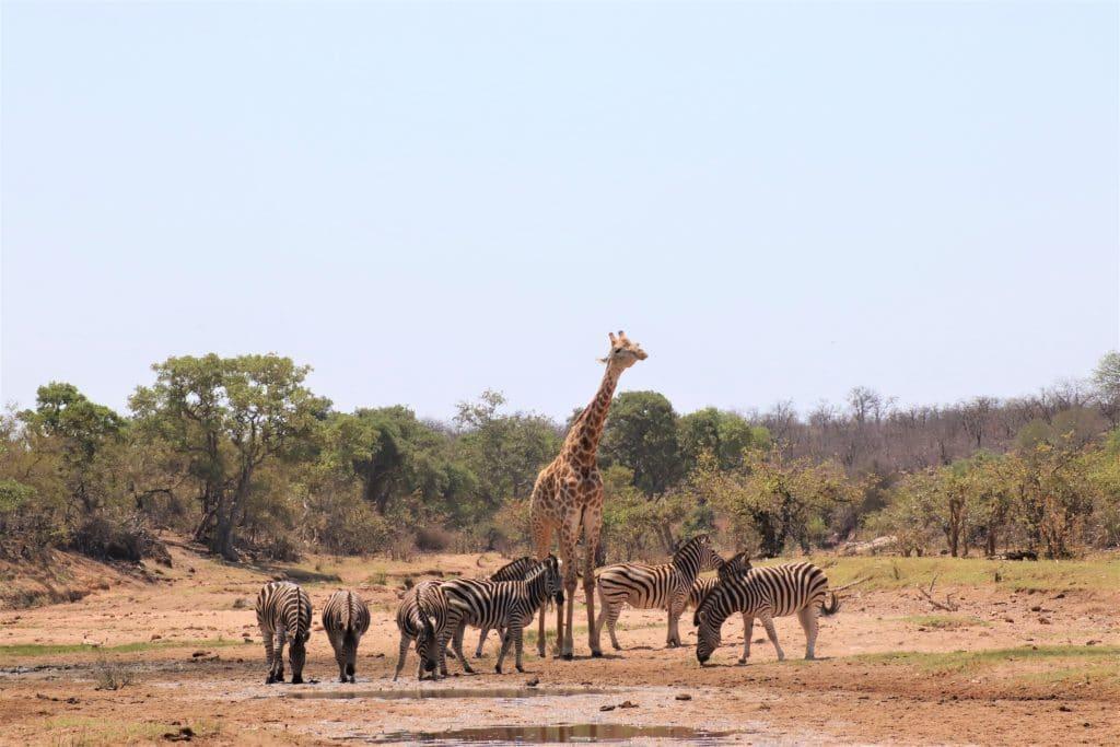 Animaux Safari au Parc Kruger en Afrique du Sud