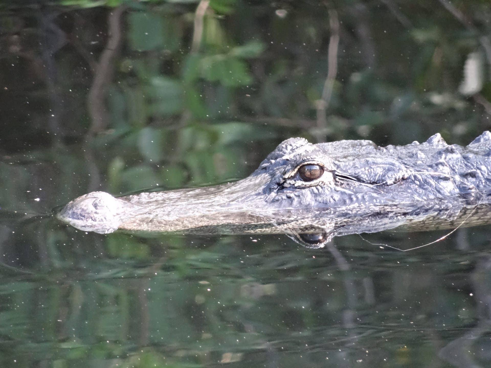 aligator everglades city road trip Floride