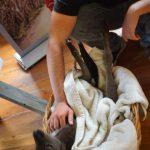 bebe kangourou