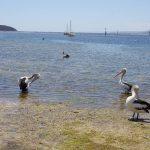 road trip australie pelicans