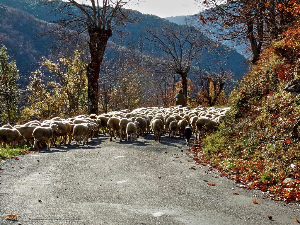 Route parc des cevennes moutons berger