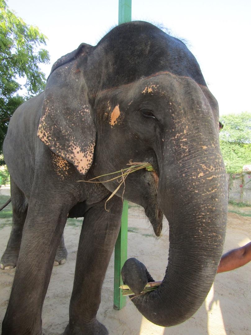 eleday elephant