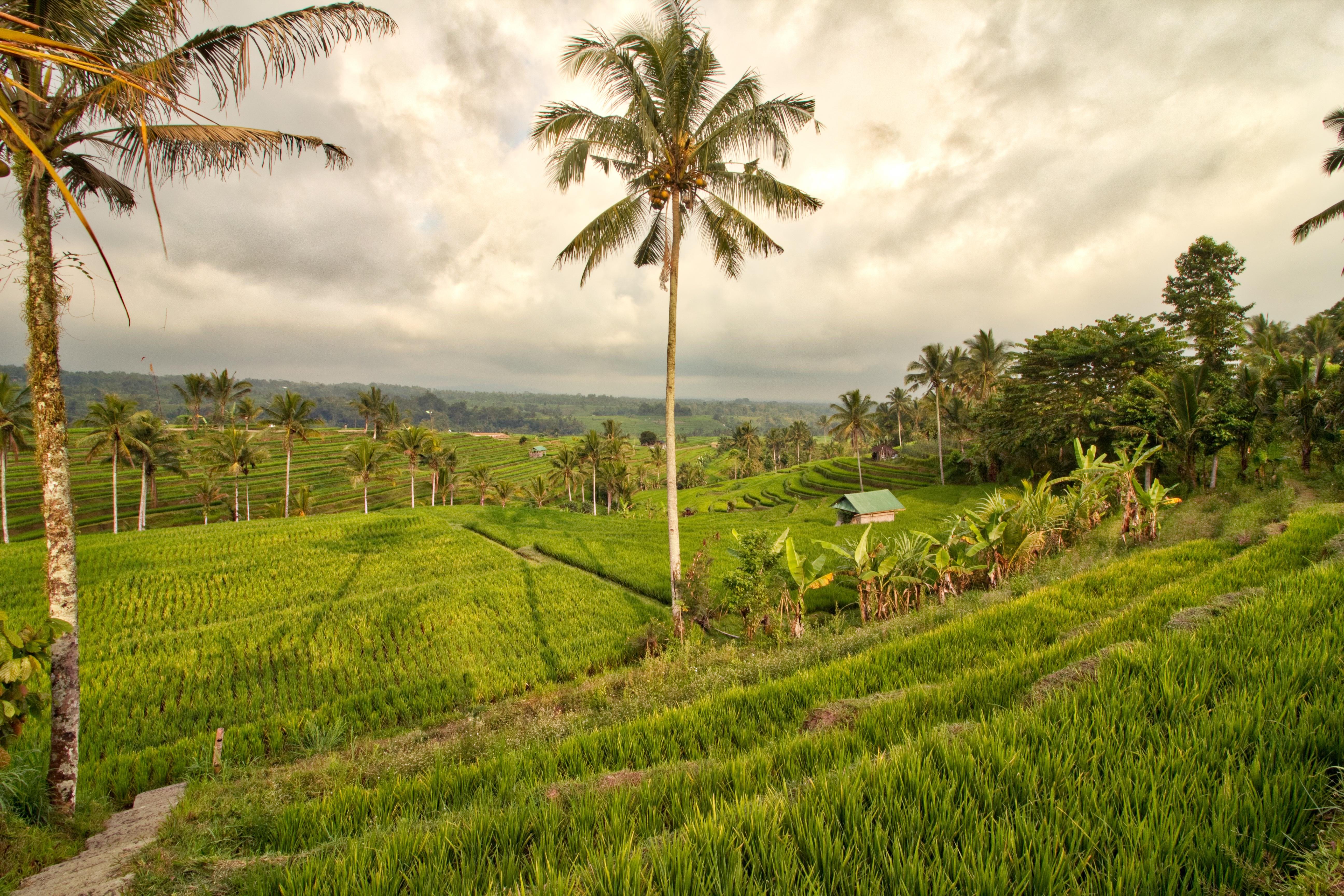 rizieres indonesie