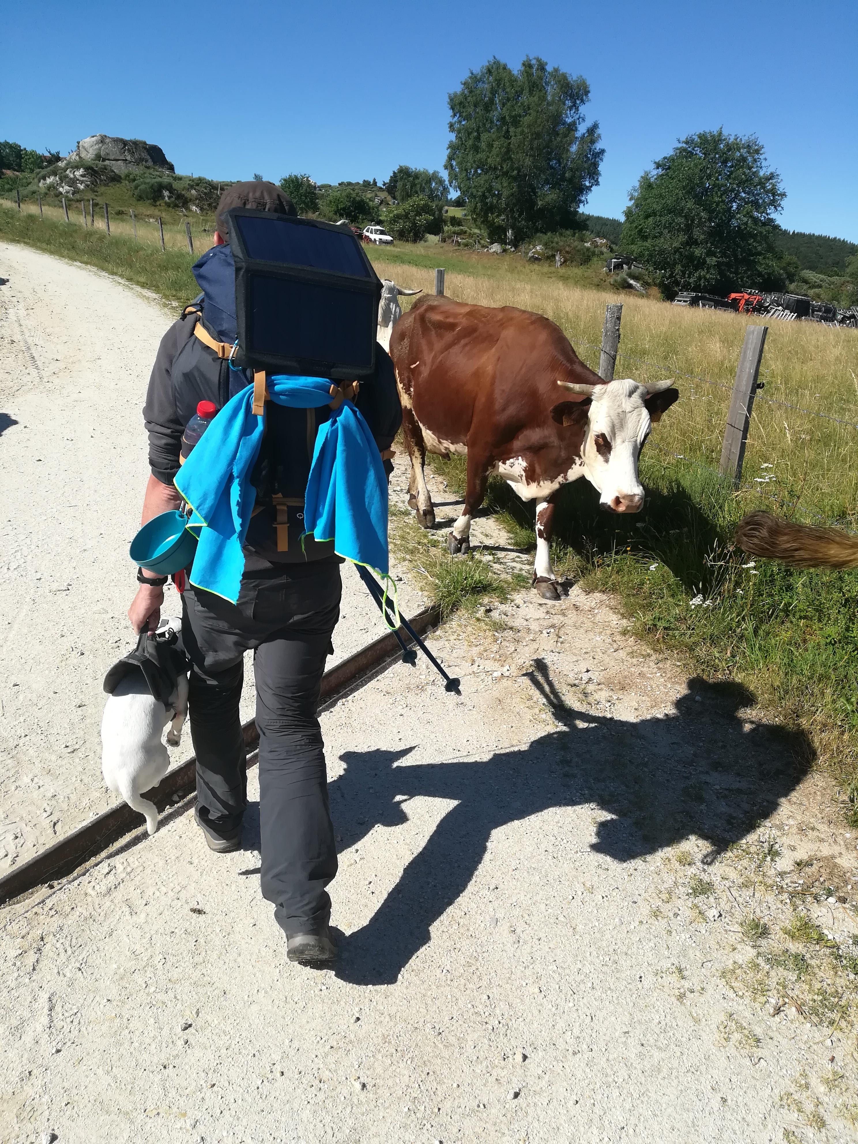 vache chemin de saint jacques de compostelle