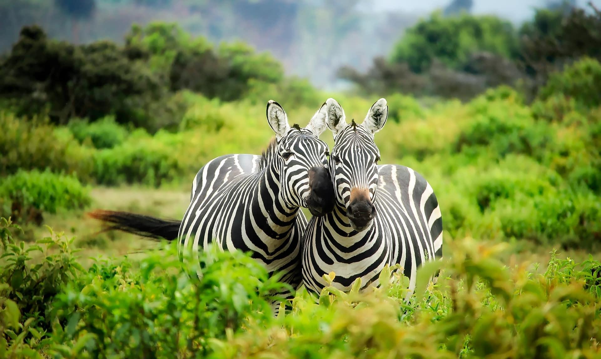 zebres kenya tourisme vert