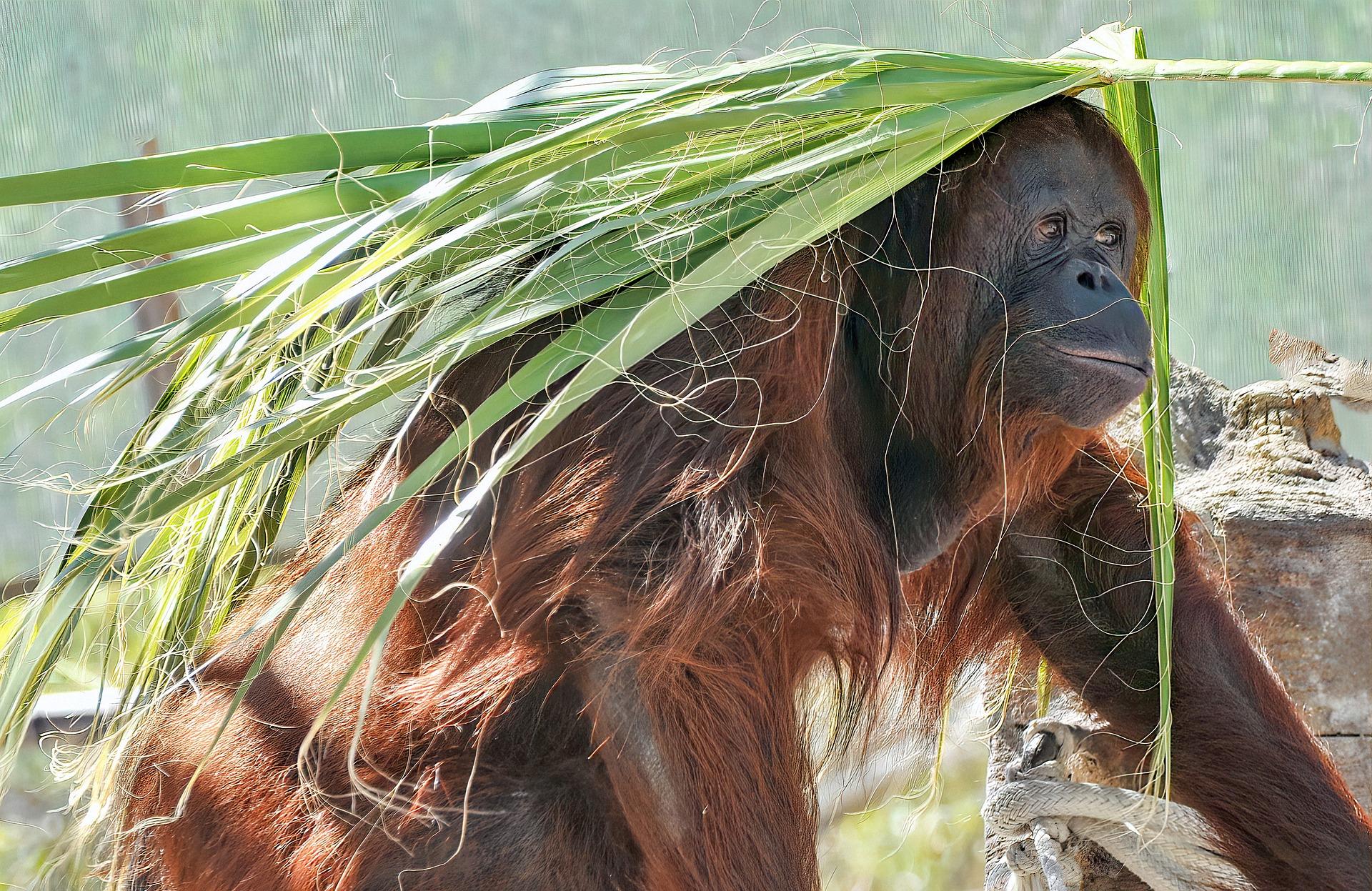 Orang outang borneo