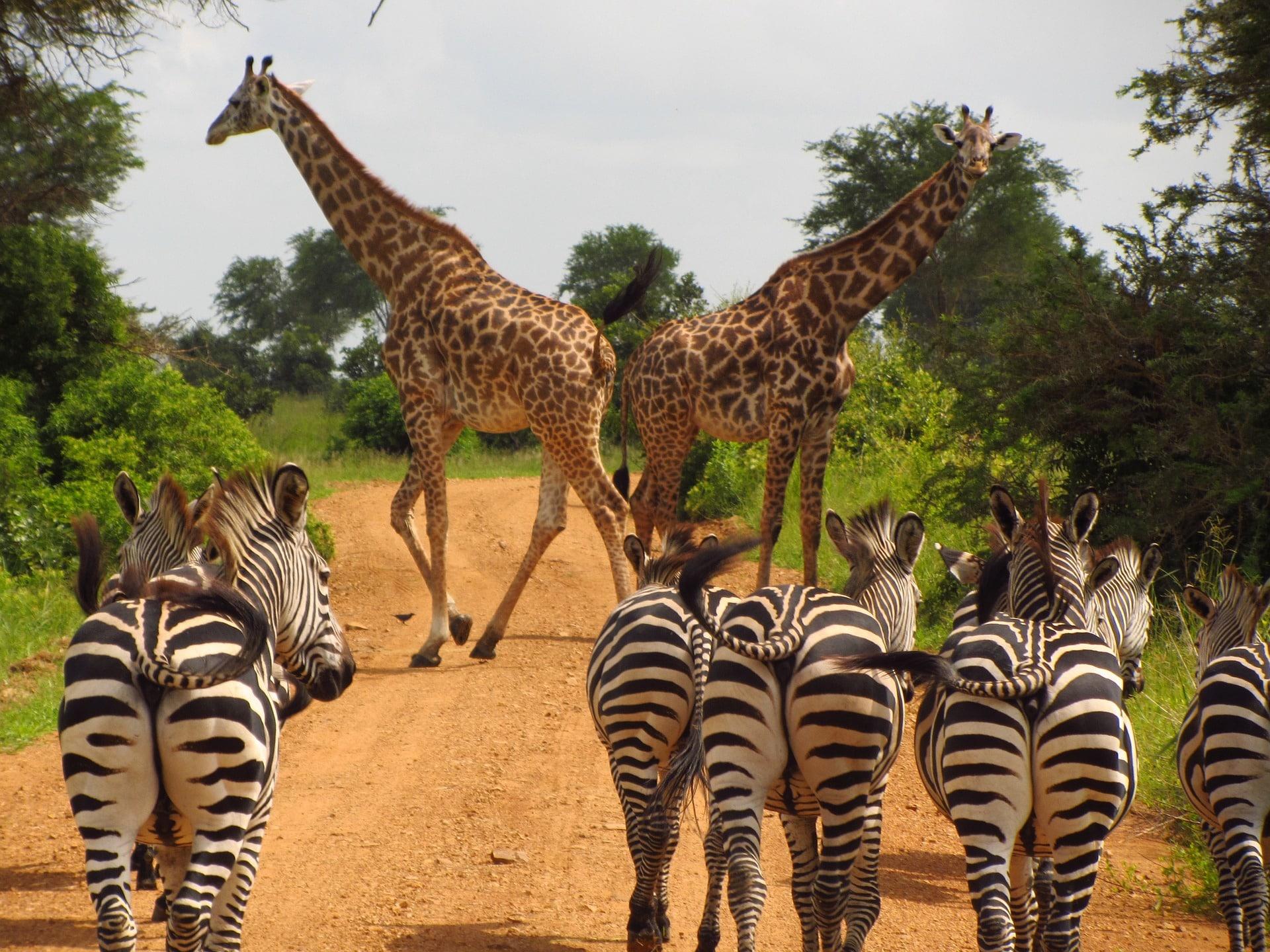 zébres girafes tanzanie