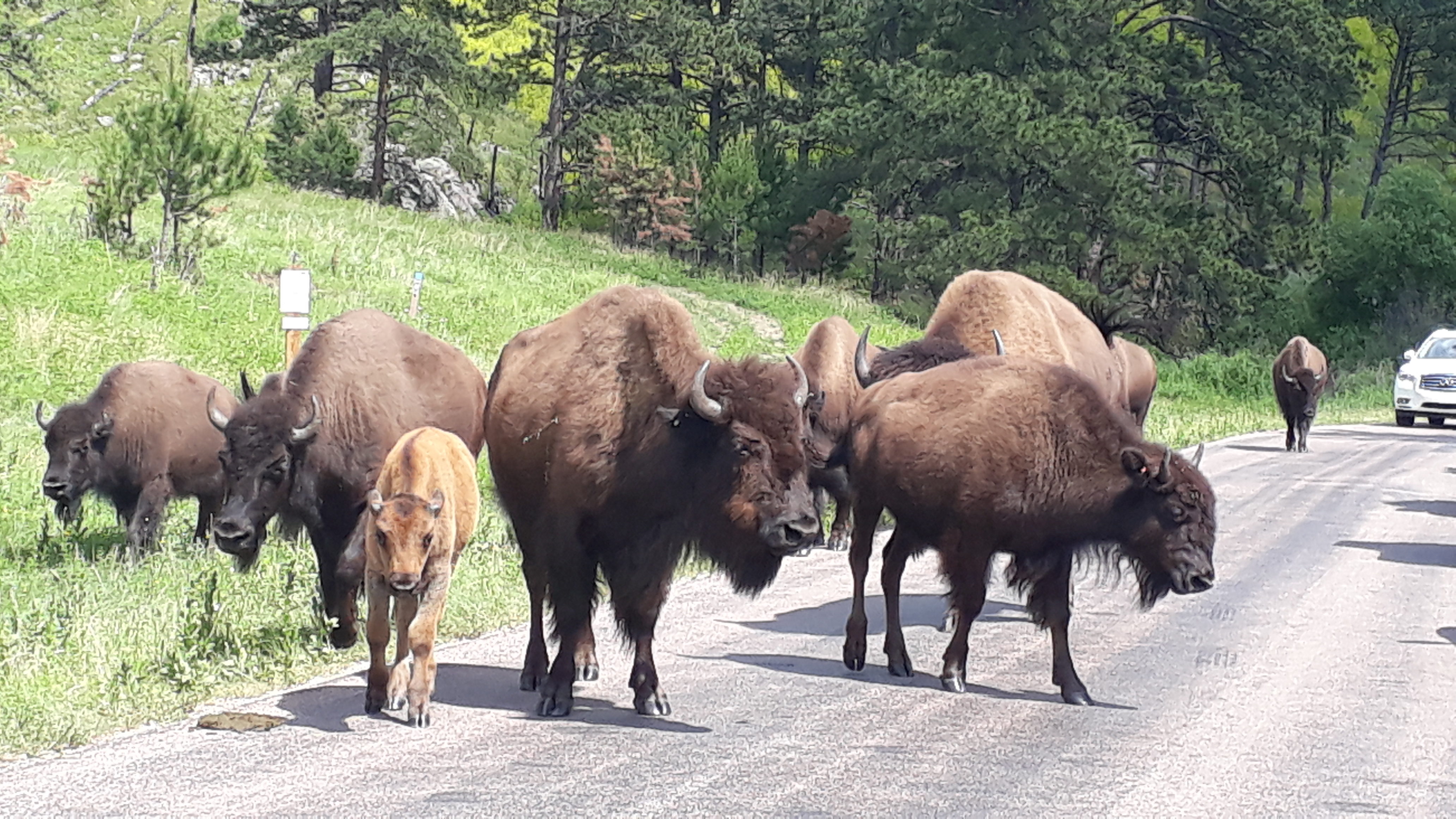 bisons Custer State Park