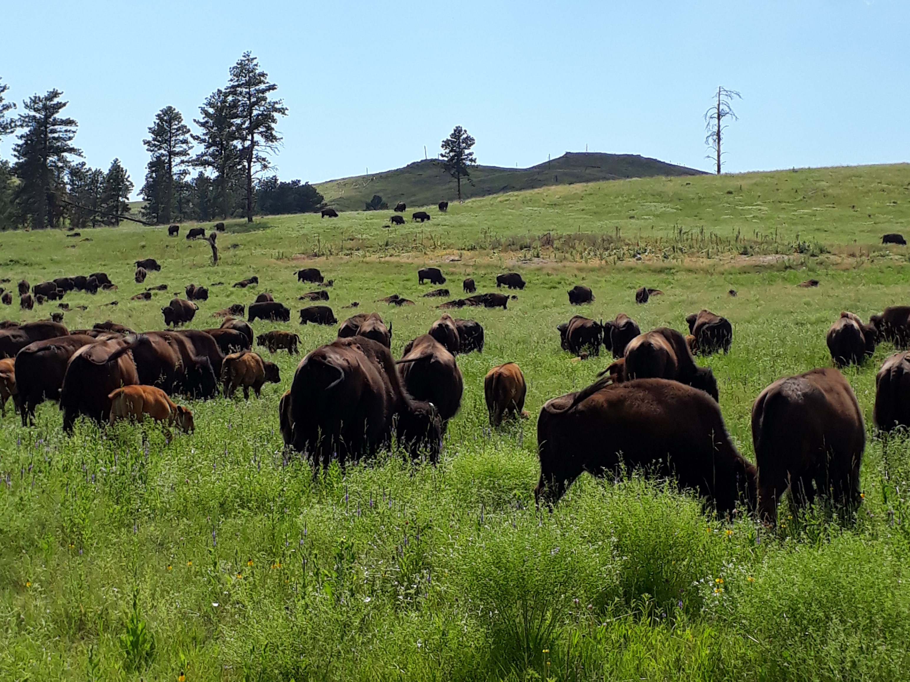bisons Custer State Park road trip dakota