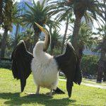 pelican Perth