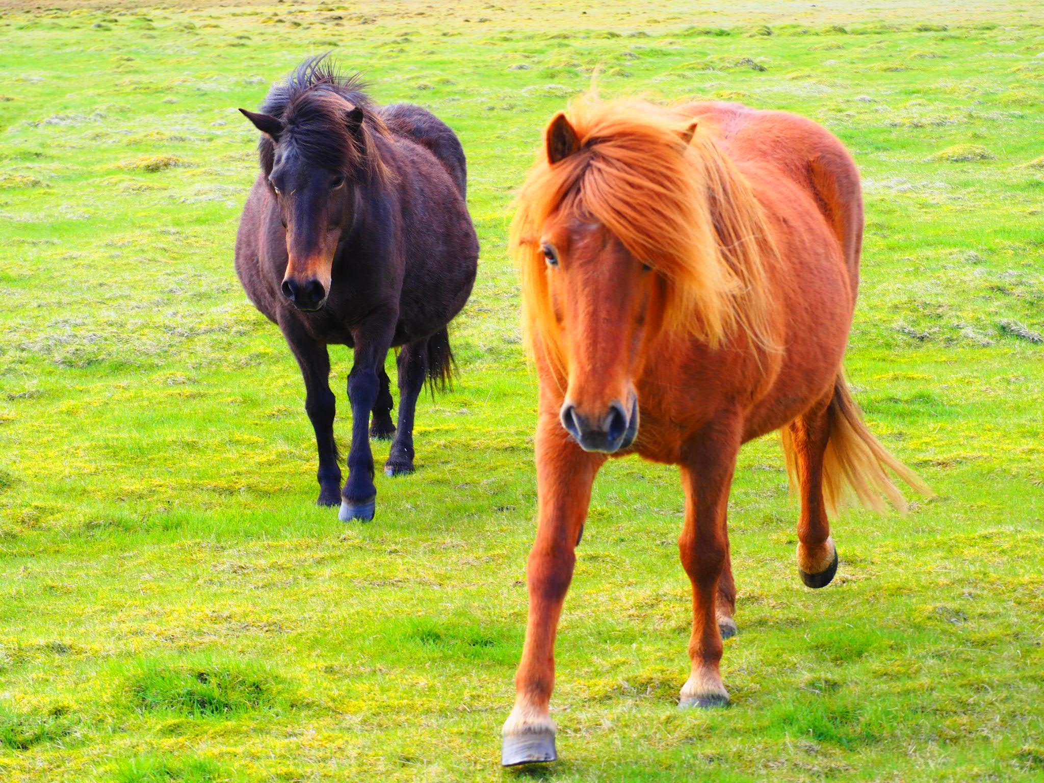 chevaux road trip islande