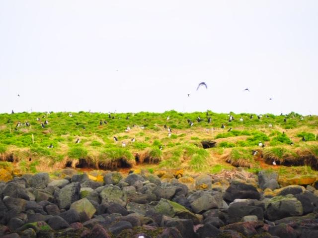 macareux islande road trip