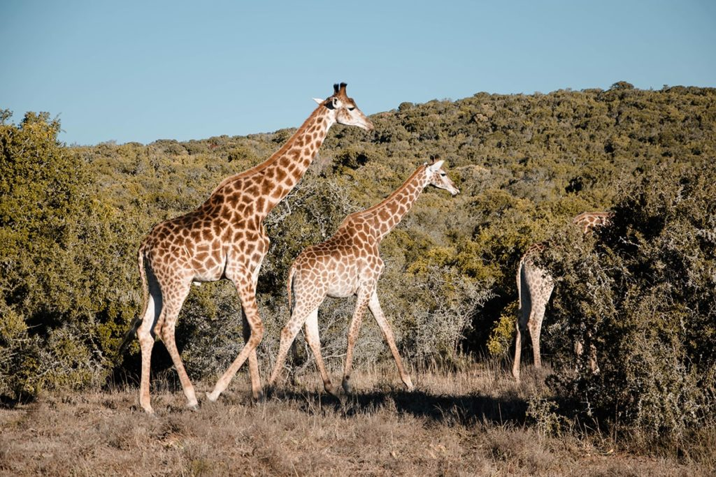 volunteering-south-africa-girafe-travel-abroad-min-1024x683.jpg
