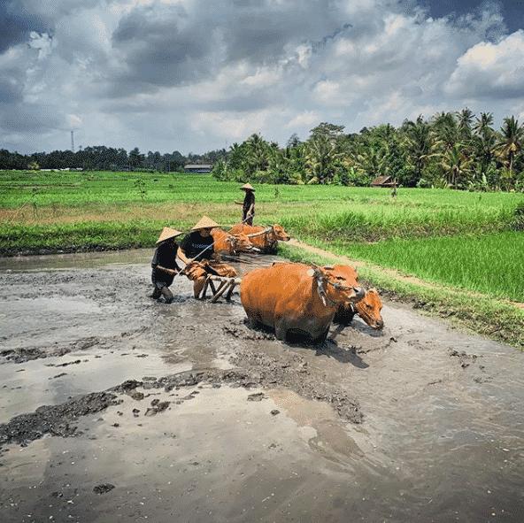rizière villages bali