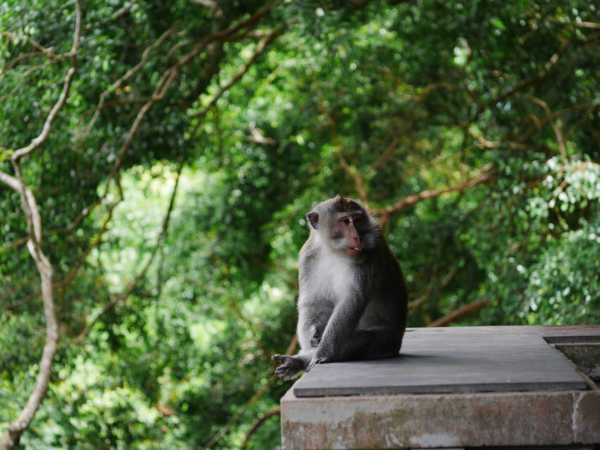 la forêt des singes à Ubud Bali