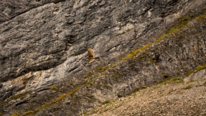 Faucon pris à la volée