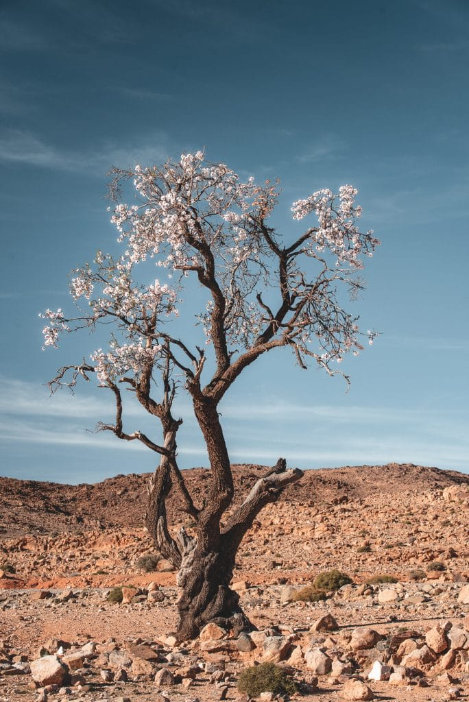 photo arbre désert maroc