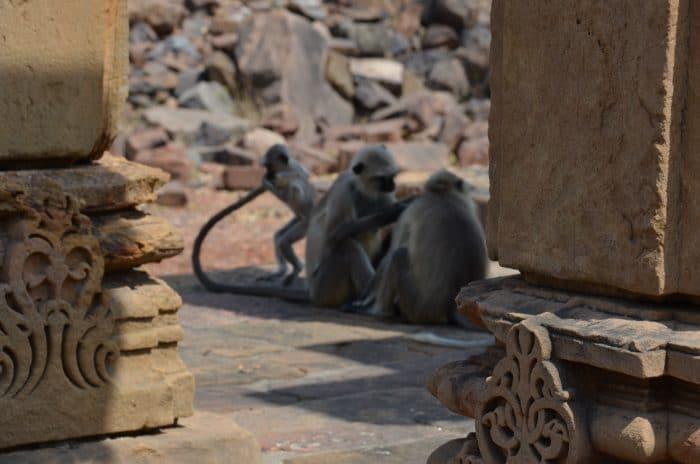 Singes au Siddhanath Mandir