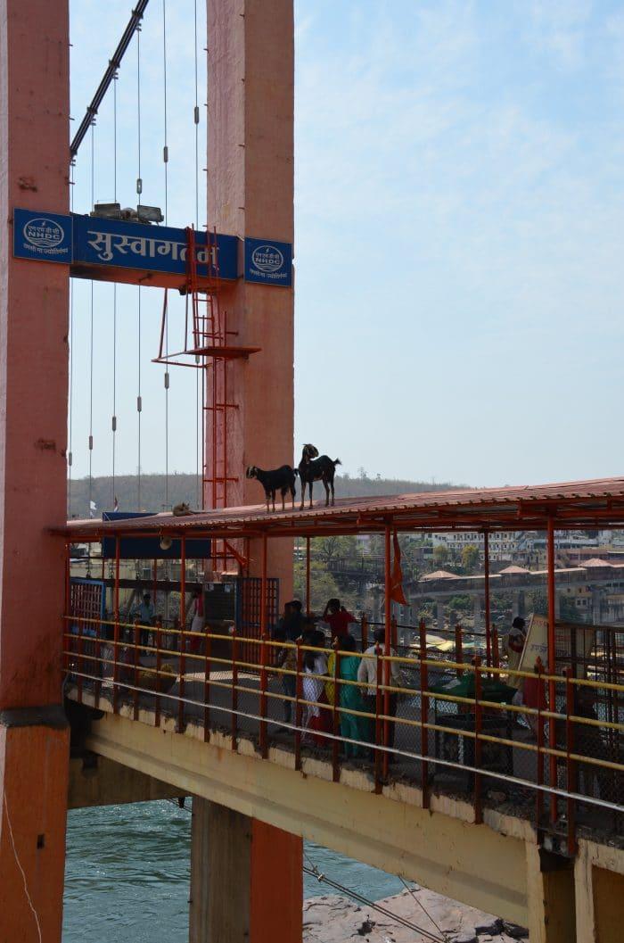 chèvres sur le pont de Omkareshwar