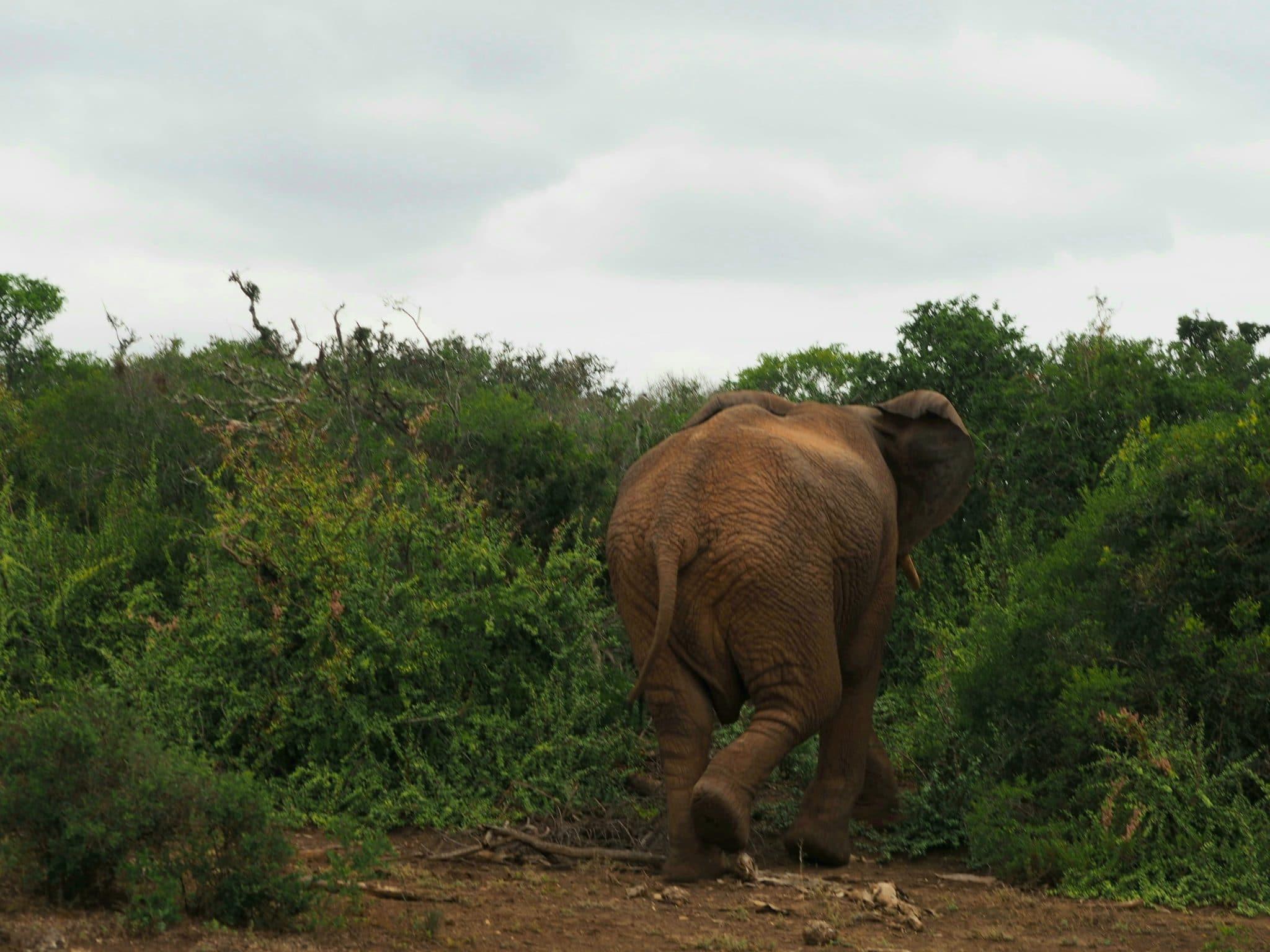 éléphant qui rentre dans les fougères