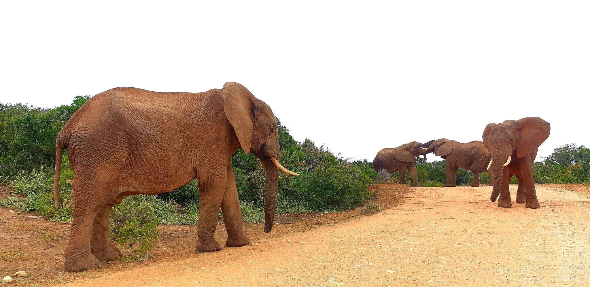 éléphants qui traversent un chemin