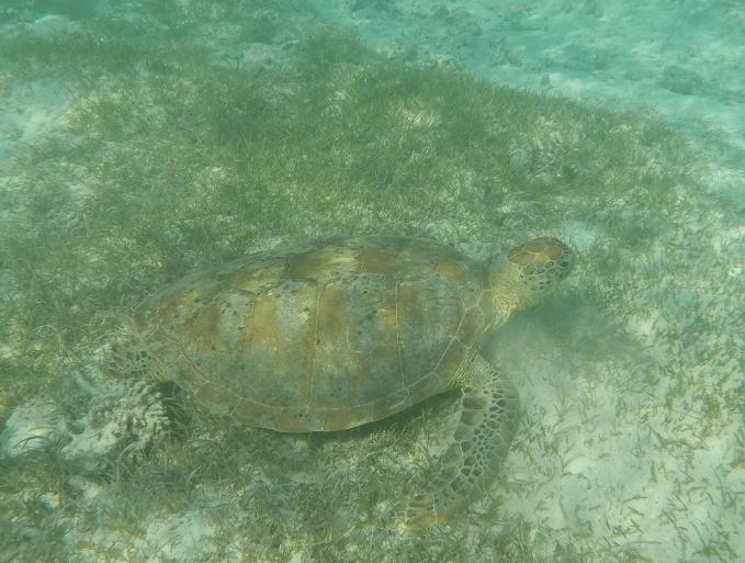 tortue dans la mer en nouvelle calédonie