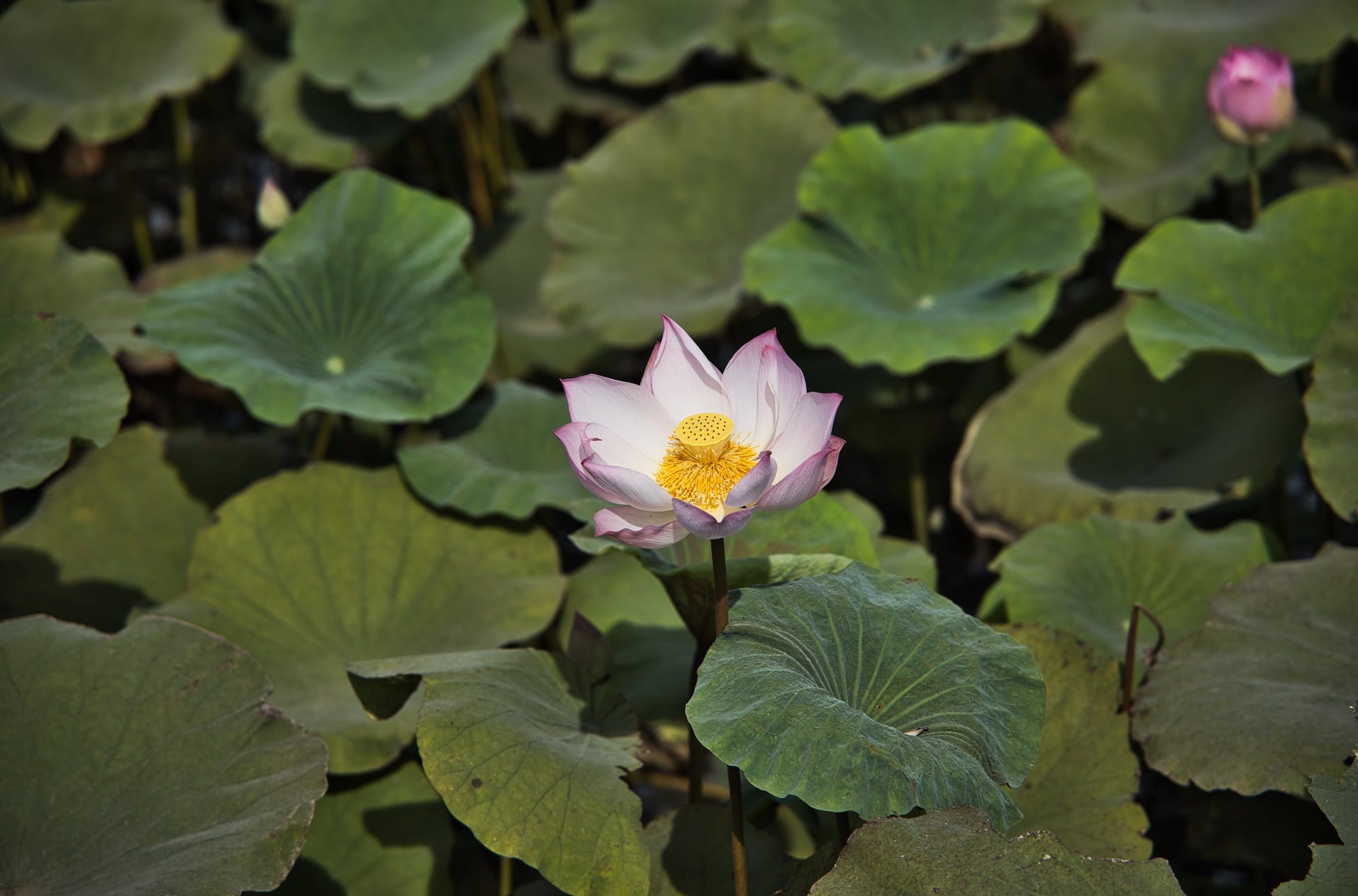 fleur battambang