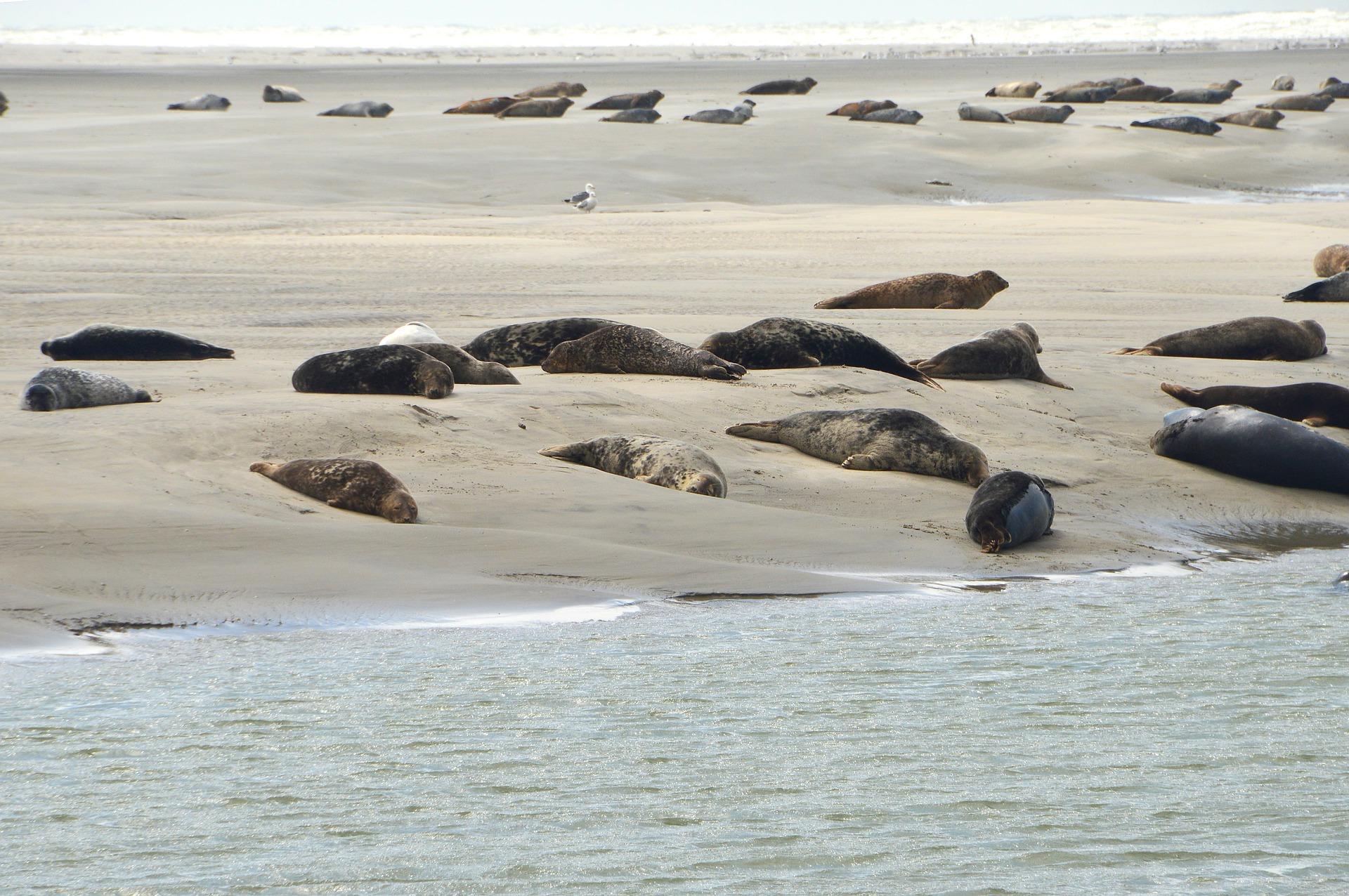 Phoques plage de berck sur mer