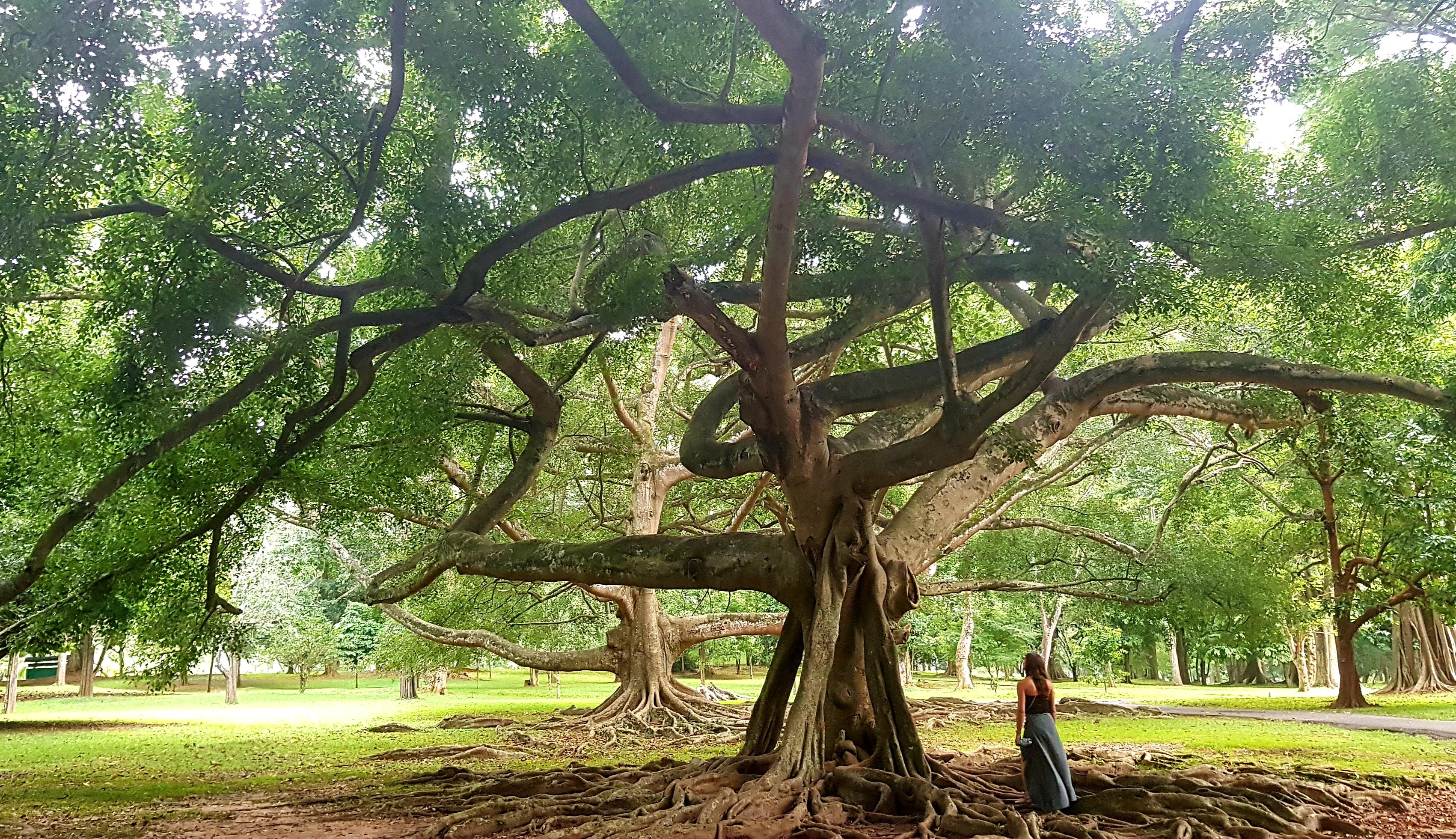 arbre sri lanka
