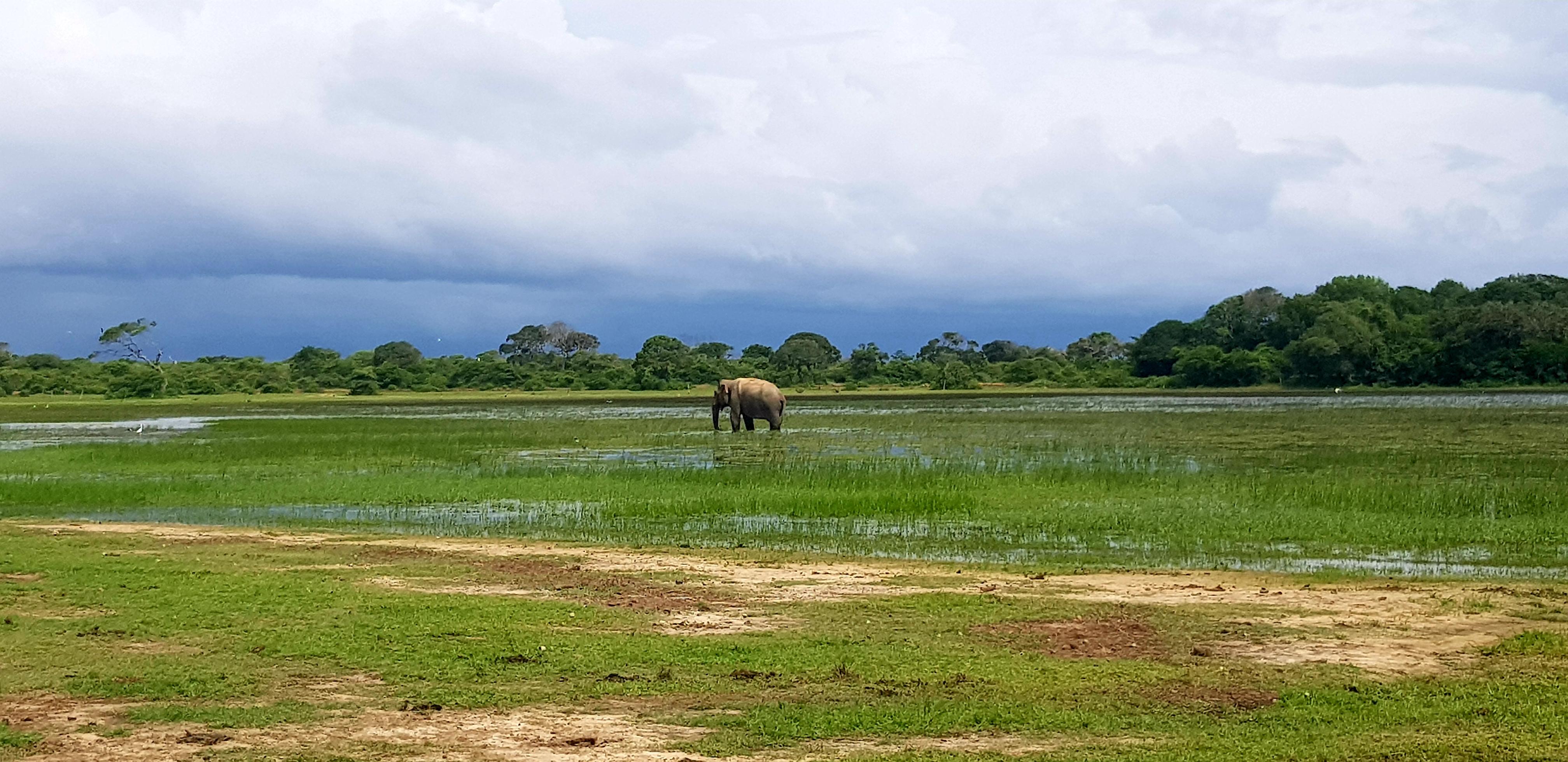 éléphant sri lanka