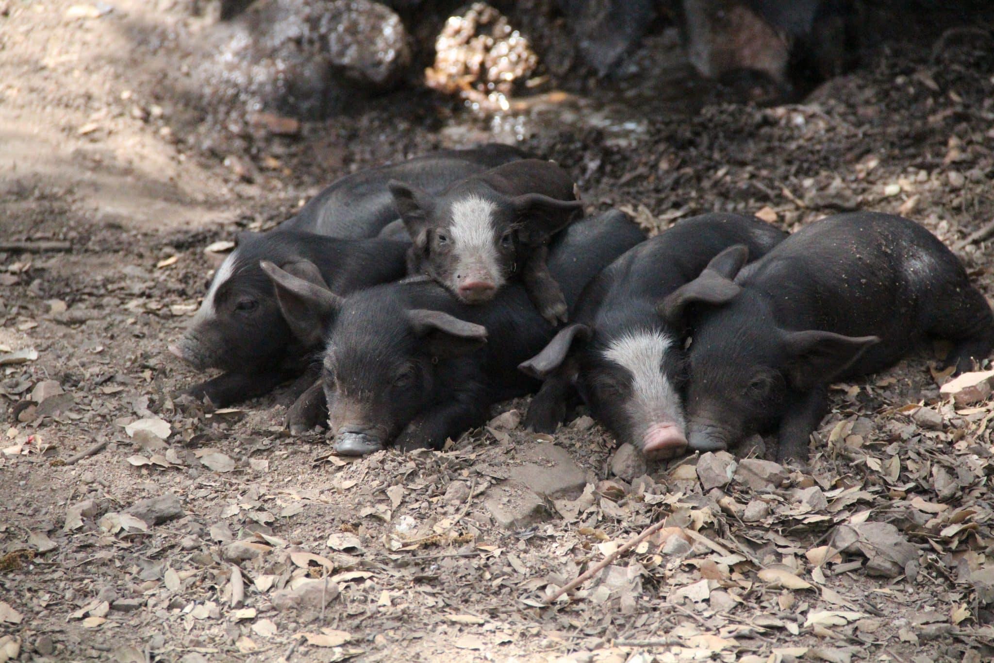 U porcu ranger